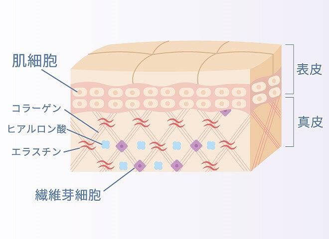 肌内部の構造 コラーゲン効果